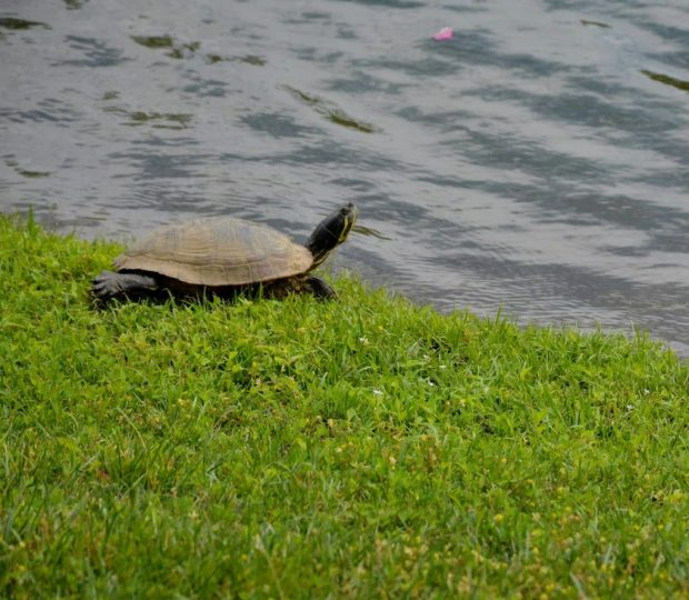 2020-06-15 Turtle by the pond